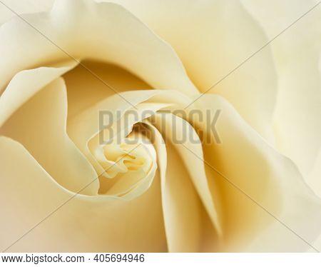 White Chocolate Or Vendela Rose Petals Close Up With Soft Focus.