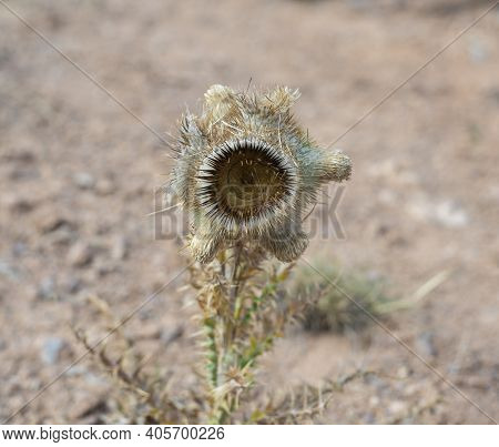 Thorn Flower Thistle Close-up In The Field. Thistle Is A Genus Of Plants Of The Astro Family