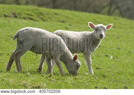 English Spring Lambs And Sheep In A Field