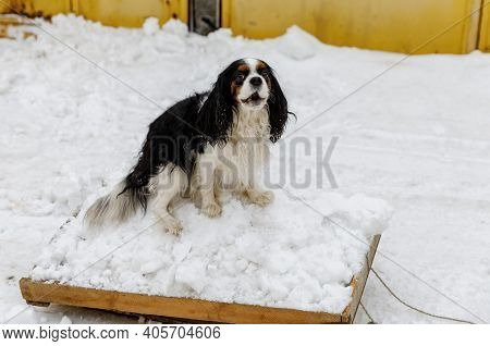 The Cavalier King Charles Spaniel Dog Helps The Owner Clean Up The Snow And Goes Sledding.