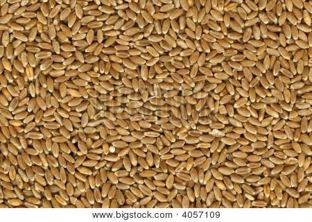 Hard Red Winter Wheat Grain