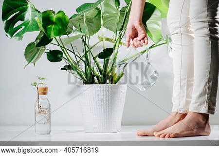 Cute Barefoot Woman Watering Beautiful Healthy Monstera In A Pot On The Floor