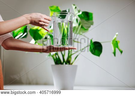 Woman Hands Holding Water Jug In Front Of Beautiful Healthy Monstera In A Pot