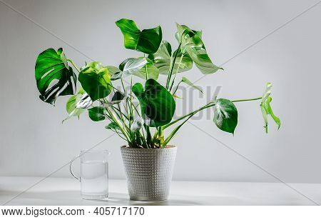 Healthy Monstera In A Pot Next To A Glass Jug Filled With Water