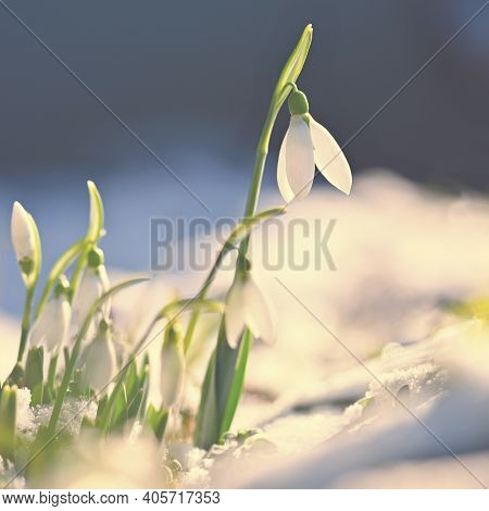 Snowdrops - Beautiful White Spring Flowers. The First Flowering Plants In Spring. Natural Colorful B