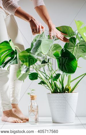 Housewife Watering Beautiful Healthy Monstera In A Pot On The Floor