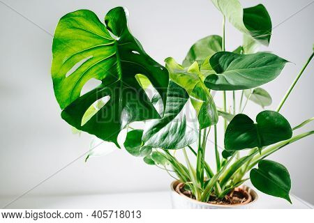 Monstera In A Pot On A Table. Top Leaf Is Holed, Small Ones Are Intact