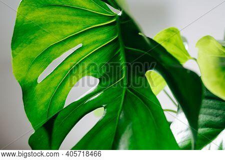 Holed Big Monstera Leaf, Light Shining Through Top Part Of It.