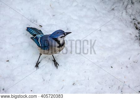 Blue Jay standing on snow from above in winter season