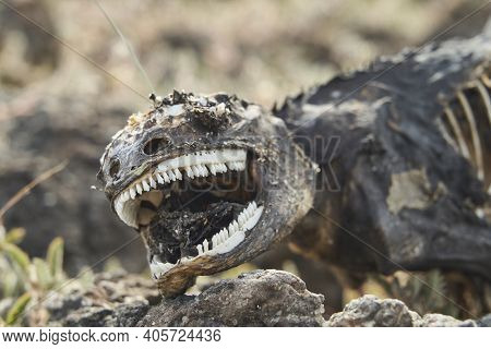 Galapagos Land Iguana, Conolophus Subcristatus. Portrait With Shallow Depth Of Field Of A Dead And D