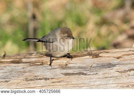 American Bushtit Bird At British Columbia Canada; North American