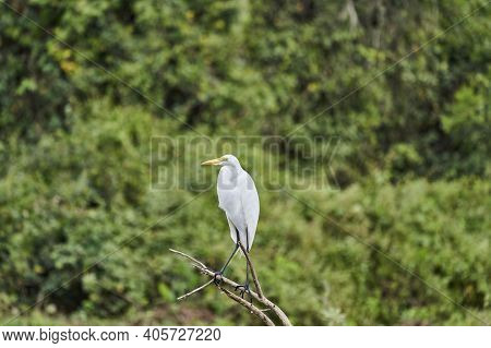 Exotic Birds Of The Pantanal. The Great White Egret, Ardea Alba, Or Common Egret, Large Egret, Or Gr