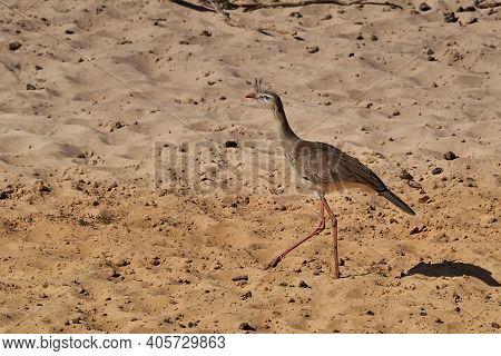 Red Legged Seriema, Cariama Cristata, Also Crested Cariama Or Crested Seriema, In The Wetlands Of Th