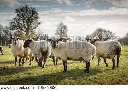 Sheep In A Field In Uk Countryside, Flock Of Sheep