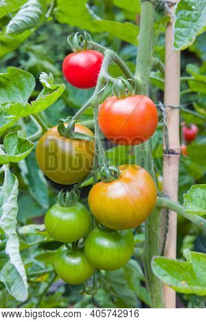 Cordon (indeterminate) Tomatoes Ripening On The Vine, Growing In A Garden In England, Uk