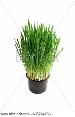 Fresh Wheatgrass Isolated On A White Background. Wheat Grass For Detox Medicine And Healthcare. Gree