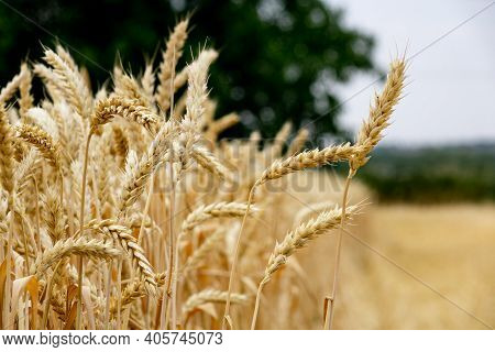 Wheat Field Perspective - Cereals, Harvesting. Farm Grows Spring Wheat. Ears Of Ripe Wheat Close Up.