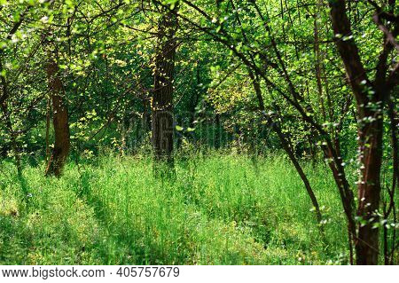 Fresh Nature Of Spring Forest . Green Uncultivated Nature