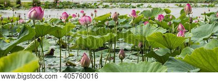 Many Blooming Lotuses On The Lake In The Khabarovsk Territory. The Lake Of Lotuses. Panoramic Shot O