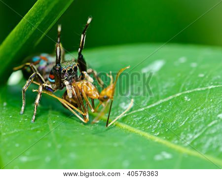 Spider Eating An Ant