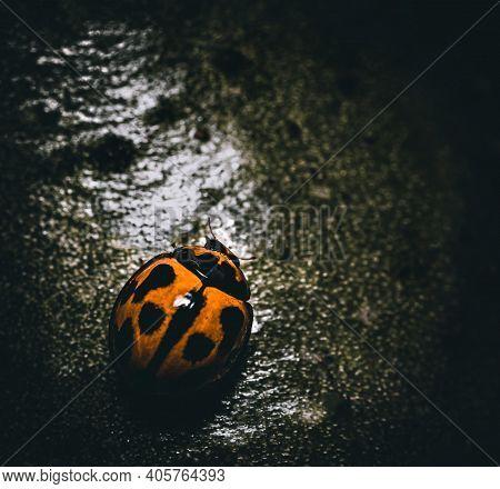 Moody Macro Of Ladybug On A Leaf. A Closeup Of A Ladybug.