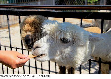 White Llama Alpaca. Mans Hand With Alpaca Cookies. Treat For Llama Alpaca