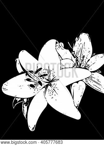 Lily Flower Sketch Illustration On Black Background. Graphic Flowers Of Lily In Outline Style. Drawi