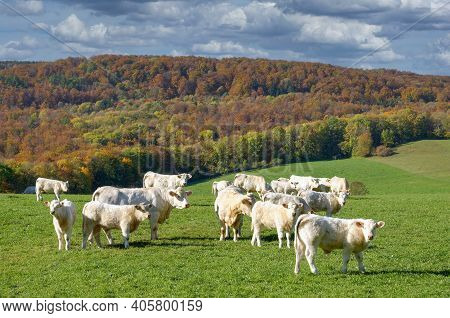 French Charolais Cows In Autumn Rhoen Landscape,germany