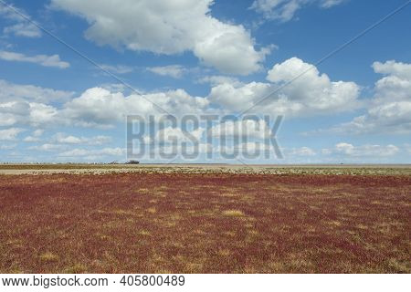 Beach Of Sankt Peter-ording With Glasswort (salicornia Europaea),north Sea,north Frisia,germany