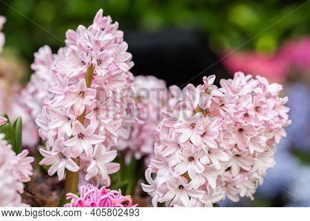 Hyacinth Flower. Flower In Garden At Spring Day. Flower For Decoration And Agriculture Concept Desig