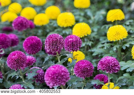 Pompom Chrysanthemums Flower. Flower In Garden At Spring Day. Flower For Decoration And Agriculture