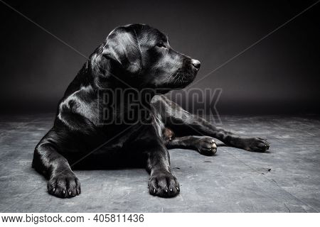 Portrait Of A Labrador Retriever Dog On An Isolated Black Background.