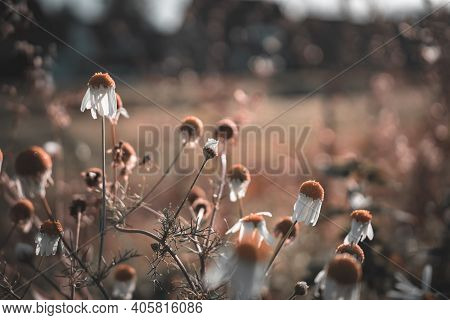 Faded Withered Daisies In The Sun On An Autumn Morning