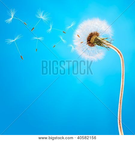 Dandelion on the long stem and on the blue sky