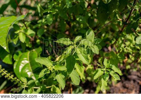 Fresh Holy Basil Plant, Basil Growing In A Greenhouse On An Allotment In A Vegetable Garden.