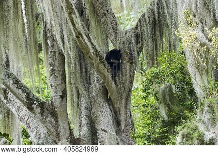 The Spectacled Bear, Tremarctos Ornatus, Also Andean Or Mountain Bear, Is The Last Remaining Short F