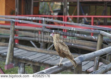 The Southern Crested Caracara, Caracara Plancus, Also Southern Caracara Or Carancho Is A Bird Of Pre