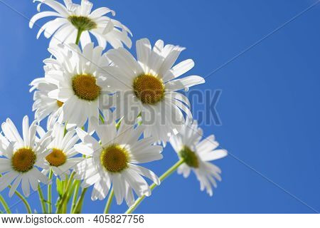 Backdrop Made Of Group Of Delicate White Chamomile Flowers With Yellow Cores On Clear Sky Scape On B