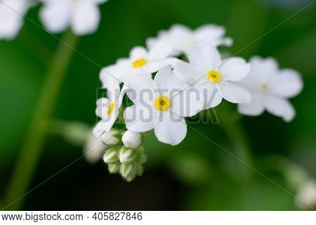 Group Of White Little Florets Of Wild Forget-me-not On Green Background With Bokeh Effect. Flowers G