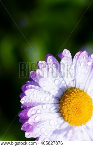Vertical Sunlit Marguerite Flower In Corner With Copy Space. Water Drops On Pink Petals