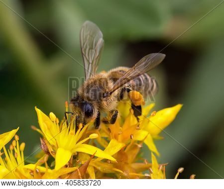 One Honey Bee Collecting Pollen On Yellow Flower. Close Up Macro