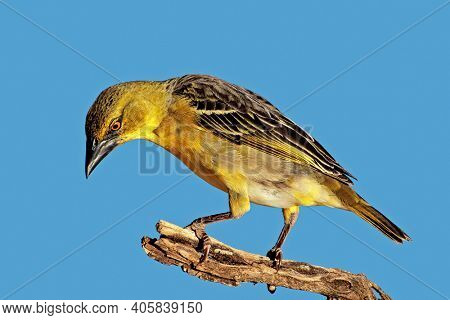 A female southern masked weaver (Ploceus velatus) perched on a branch, South Africa