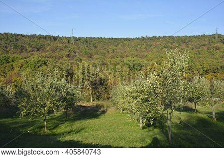 Olive Trees In The Autumn Landscape Near Malchina In Friuli-venezia Giulia In North East Italy