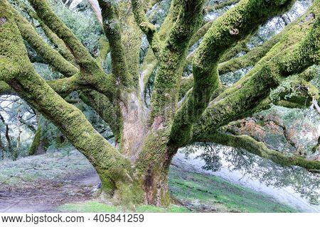 Old-growth Canyon Live Oak At Russian Ridge Preserve, San Mateo County, California, Usa.