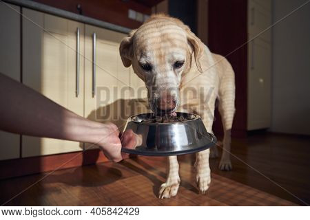 Pet Owner Feeding Of Hungry Dog. Labrador Retriever Eating Granule From Metal Bowl At Home.