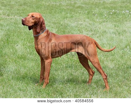 HungarianShort-haired Pointing Dog on the meadow - Hungarian Vizsla poster