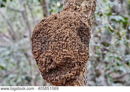 Details Of A Nest Of Wild Bees On An Exotic Topical Tree At The Buraco Das Aras, Brazil, South Ameri