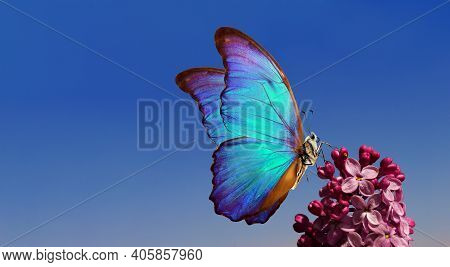 Purple Lilac And Colorful Morpho Butterfliy Against The Blue Sky. Colorful Blue Butterfly Flying Ove