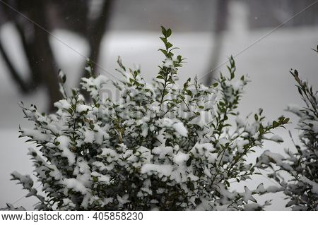 Bush In The Snow. Snow-covered Bush With Green Leaves. Suddenly The First Snow Fell. Evergreen Plant