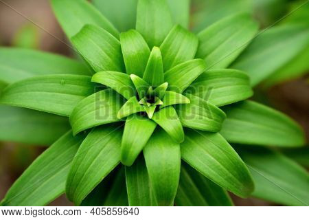 Fritillaria Imperialis Green Leaves (imperial Crown, Imperial Frillill Or Kaiser Crown) Flower Plant